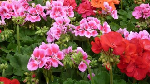 Fiori al giardino dell 39 orticoltura di firenze con il for Fiori gerani